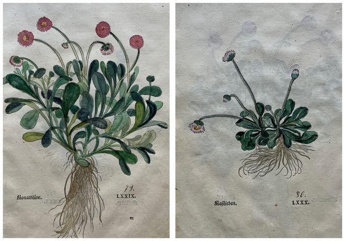 Leonhart Fuchs (1501-1566) - Daisy [Bellis perennis] & Folio with 2 large hand coloured woodcuts to recto and verso - 1543