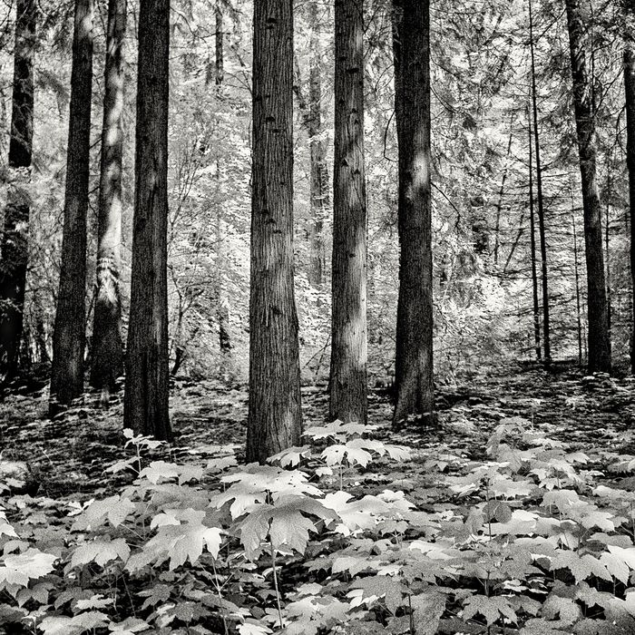 Hans Vos - trees in the forest  ( infra-red picture)