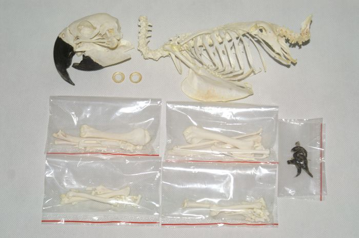 Blue-and-Gold Macaw - full skeleton with Skull - partially assembled - Ara ararauna (with Declaration of Legal Origin) - 31×9×13 cm