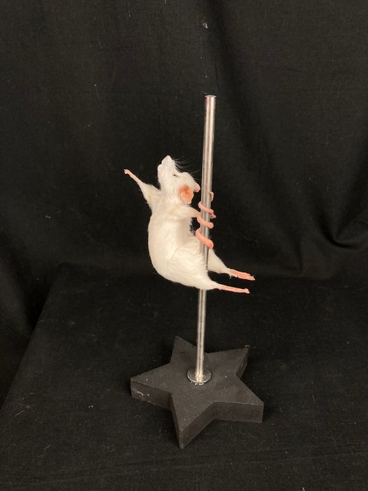 Delightful Pole-dancing White Mouse - - Mus musculus - 22×10×10 cm