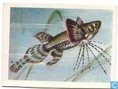 Vlindervis