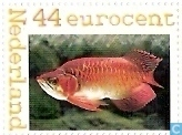 Asian Arowana, Red Dragon Fish