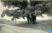 De dikke boom bij RUURLO.