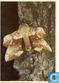 Populier Pijlstaart (Vlinder)
