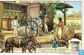 Die Kultur der Baumwolle