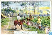 Tabakkultur auf Sumatra