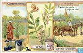 Farbpflanzen