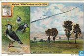 Zugvögelflug