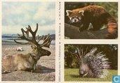 ESSO-album foto nr.11 Stekelvarken, nr.36 Rendier en nr.45 Kl.Panda