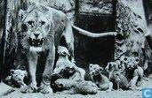 Arnhem - Leeuwenzeveling in Burgers Natuurdierenpark