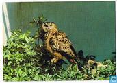 Knokke - Zoute - La réserve ornithologique du Zwin - Het vogelreservaat van het Zwin - Oehoe - Hibou Grand-Duc - Eagle-Owl - Uhu